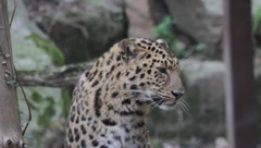 Portrait of a leopard Stock Footage