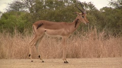 Impala stands with oxpeckers Stock Footage