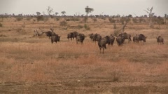 Herd of wildebeest walking Stock Footage