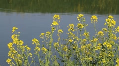 Yellow flowers on the water Stock Footage