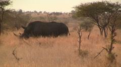 Walking White Rhino Stock Footage