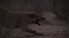 Spotted Hyena stretches Stock Footage