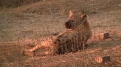 Hyena lying in the sun Stock Footage