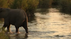 African Elephants crossing river Stock Footage