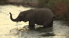 Small African Elephant crossing river Stock Footage
