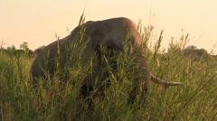Elephant eating close Stock Footage