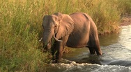 Stock Video Footage of Elephants eating in River