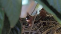 Baby Birds #1 Stock Footage