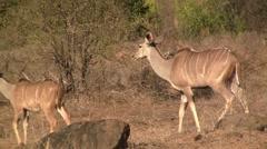 Kudu family walking Stock Footage