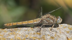 Dragonfly resting on rock / Orthetrum brunneum (female) Stock Footage