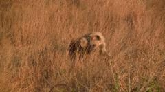 Playing Hyenas Stock Footage