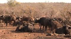 Herd of Buffalos Stock Footage