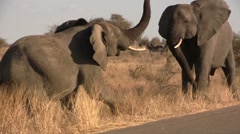 African elephants fighting - stock footage