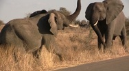 Stock Video Footage of African elephants fighting