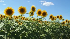 A field of Sunflowers Stock Footage
