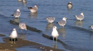 Stock Video Footage of Freshwater Seagulls on Shore