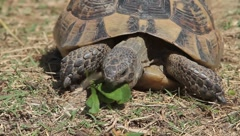 Spur-thighed turtle eating green grass close-up / Testudo graeca ibera Stock Footage