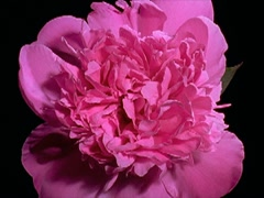 Pink peony Flower Blooming in Time-lapse – 400x300 Stock Footage