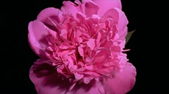 Pink peony Flower Blooming in Time-lapse – 480x270 Stock Footage