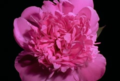 Pink peony Flower Blooming in Time-lapse – NTSC Stock Footage