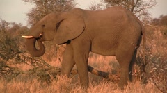 Elephant eating from fallen tree Stock Footage