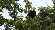 Stock Video Footage of Bald Eagle Flight Slowed