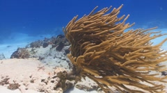 Spiny Sea Rods and divers Stock Footage