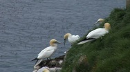 Stock Video Footage of Gannet Colony- Cape St. Mary's Ecological Reserve- Newfoundland 2
