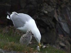 Herring Gull Adult Feeding Chick Stock Footage