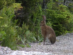 Rabbit at Gros Morne National Park- Newfoundland Stock Footage