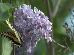 Tiger Swallowtail Butterfly on Lilac 3 Stock Footage