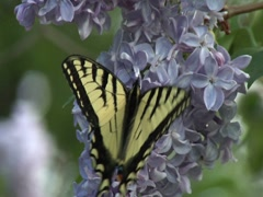 Tiger Swallowtail Butterfly on Lilac 1 Stock Footage