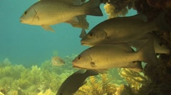 Snappers under ledge Stock Footage