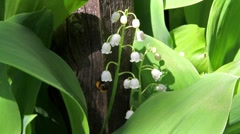 Bee and lily of the valley Stock Footage