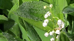 Lily of the Valley of the drops Stock Footage