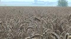 Rain on Wheat Harvest Stock Footage