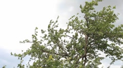Summer apple tree on wind - gray cloudy sky panning Stock Footage