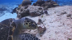 turtle feasting - stock footage