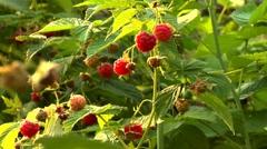 Picking raspberries Stock Footage