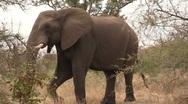 Stock Video Footage of Walking elephant in bush