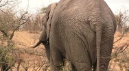 Stock Video Footage of African Elephants back close up