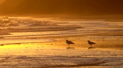 Two seagulls on a sandy beach at sunset - one flies around Stock Footage