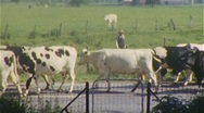 Stock Video Footage of Cows Come Home for Milking DAIRY FARM 1950s Vintage Film Retro Home Movie 351