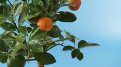 Mandarin oranges on the tree Stock Footage