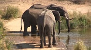 Stock Video Footage of Drinking elephant family at river
