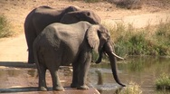 Stock Video Footage of Two drinking african elephants