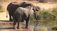 Stock Video Footage of Drinking elephant