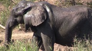 Stock Video Footage of Elephant leaves river