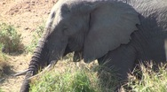 Stock Video Footage of African elephant drinks at river