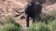 Stock Video Footage of Drinking african elephant